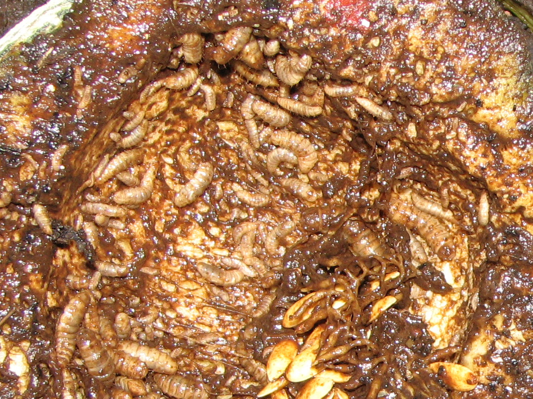meat and maggots Prior to the 1600s, laymen and scientists alike commonly accepted that living organisms could be produced from nonliving organisms this belief, known as spontaneous.